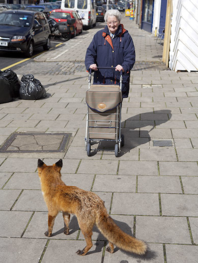 Shocking statistic: 48% of fox deaths in London are attributed to collisions with old-people's wheelie bags.