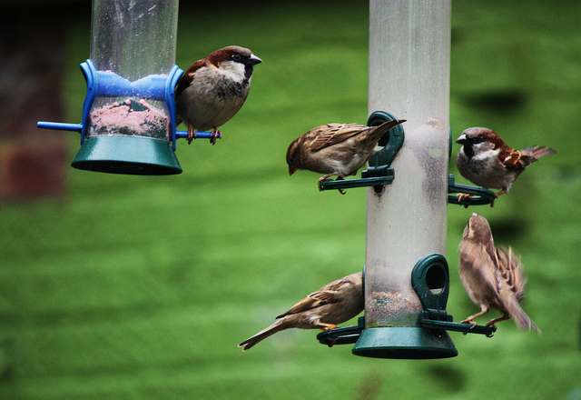 Step Up For Cockney Sparrows and Starlings