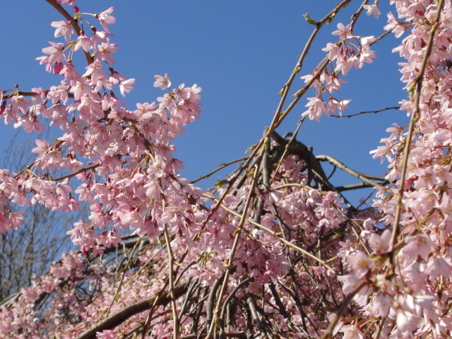 Blue sky, pink blossom in St James's Park / Rachel H
