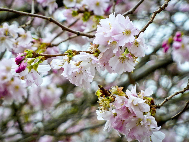 Blossom close up in Ravenscourt Park / Carole-*