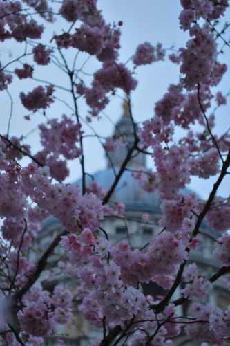 St Paul's peeping out behind blossom / Pazdesigns