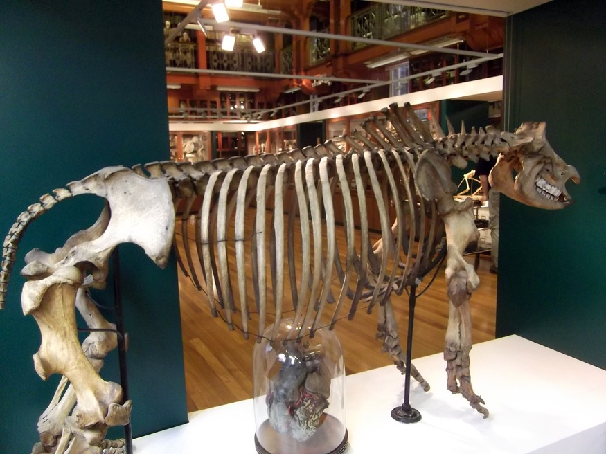 An unusual office partition: a hippo skeleton is all that currently separates the museum from its staff area.