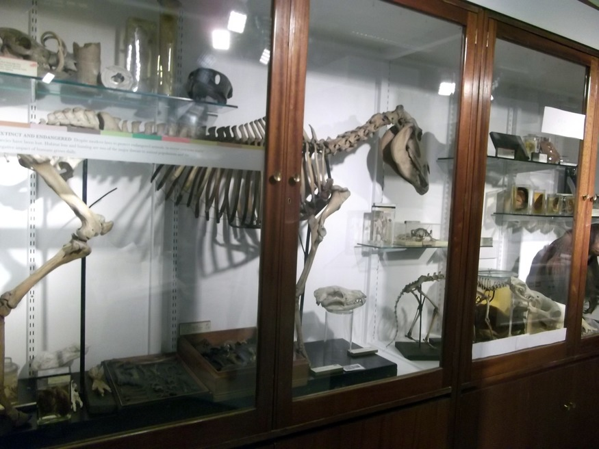 A quagga skeleton in the cabinet of extinct and threatened animals.