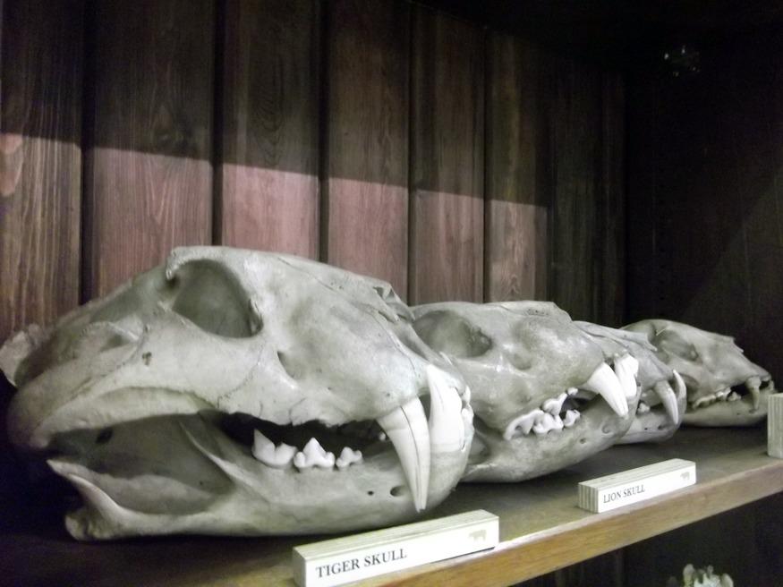 Tiger skulls.