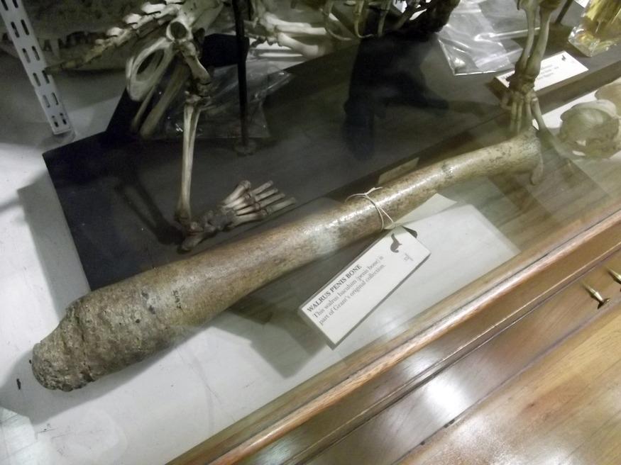 A walrus penis bone.
