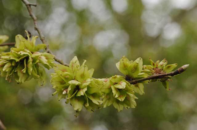 Ulmus Londinium: Help Map London's Elms