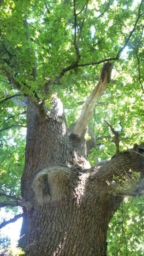 A huge oak