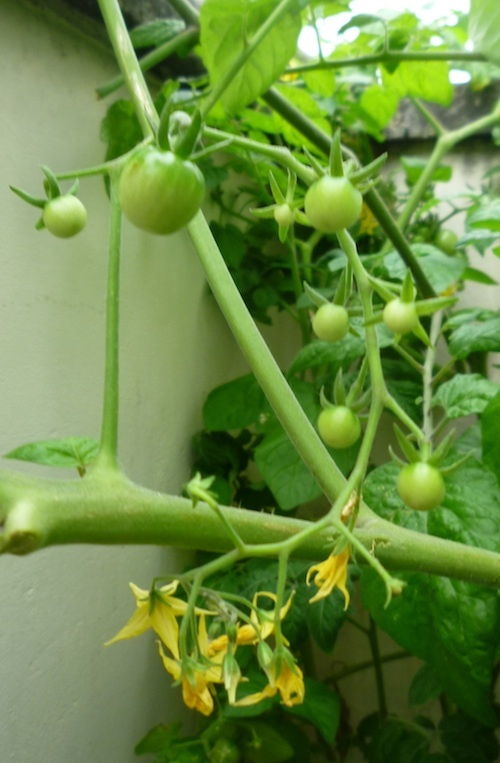 Baby tomatoes hanging in mid air