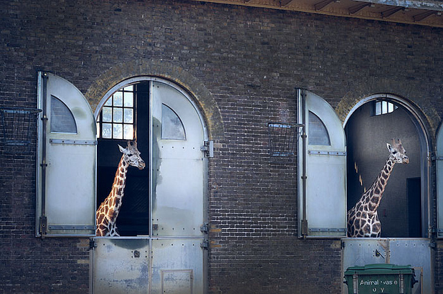 London Zoo giraffes by Belkus