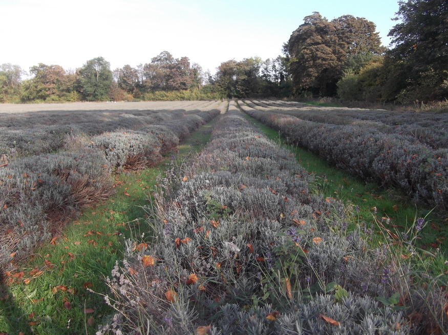Lavender fields. Think we picked the wrong time of year.