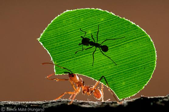 Ant rickshaw.