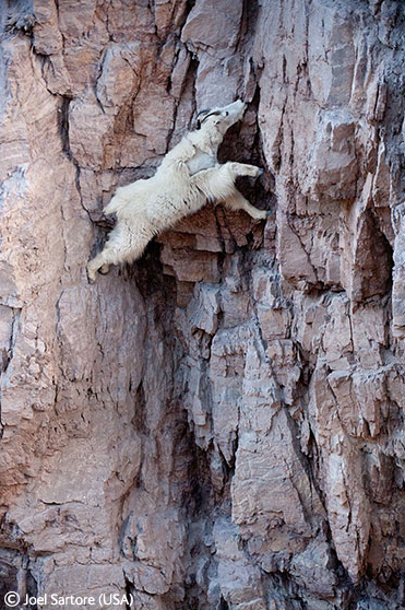 Spider goat, spider goat, does whatever a spider goat does.