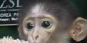 Stupidly Cute Monkey Born at London Zoo