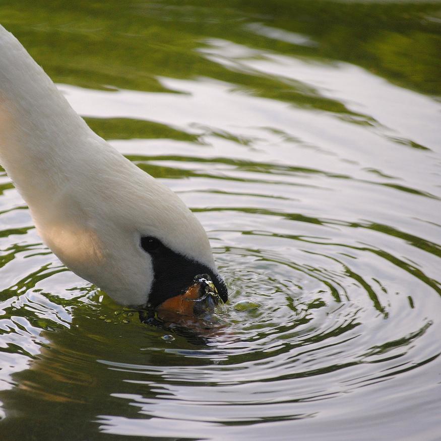 Southgate swan