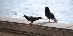 The Friday Photos: Pigeons