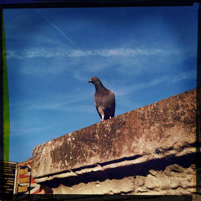 A veritable pigeon portrait, by Simon Crubellier