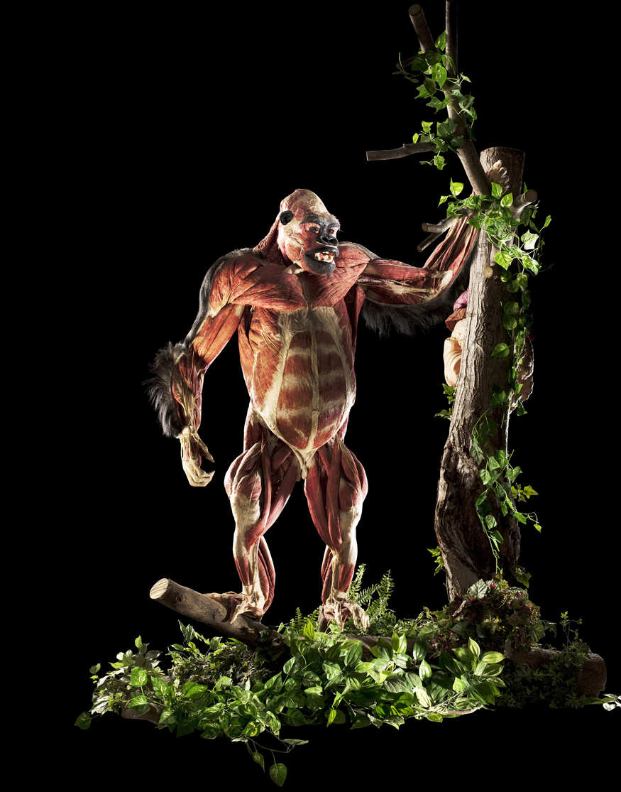 Gorilla. © Gunther von Hagens, Institute for Plastination, Heidelberg, Germany www.bodyworlds.com