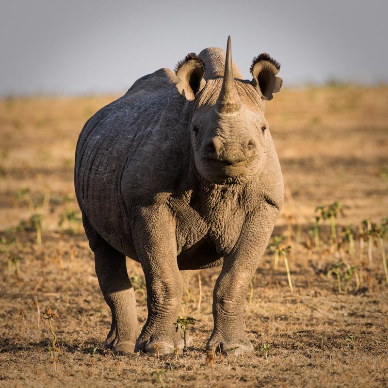 Black Rhino, Lakipia, Kenya © Roger Hooper