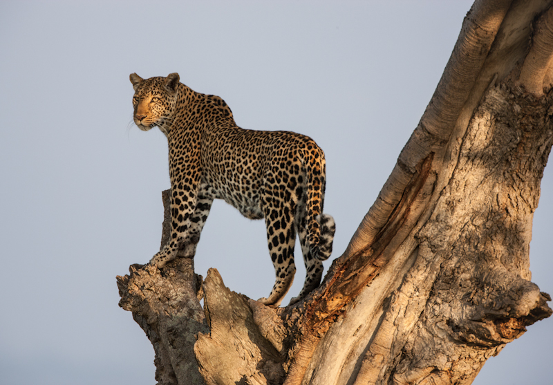 Leopard, Masai Mara, Kenya © Roger Hooper