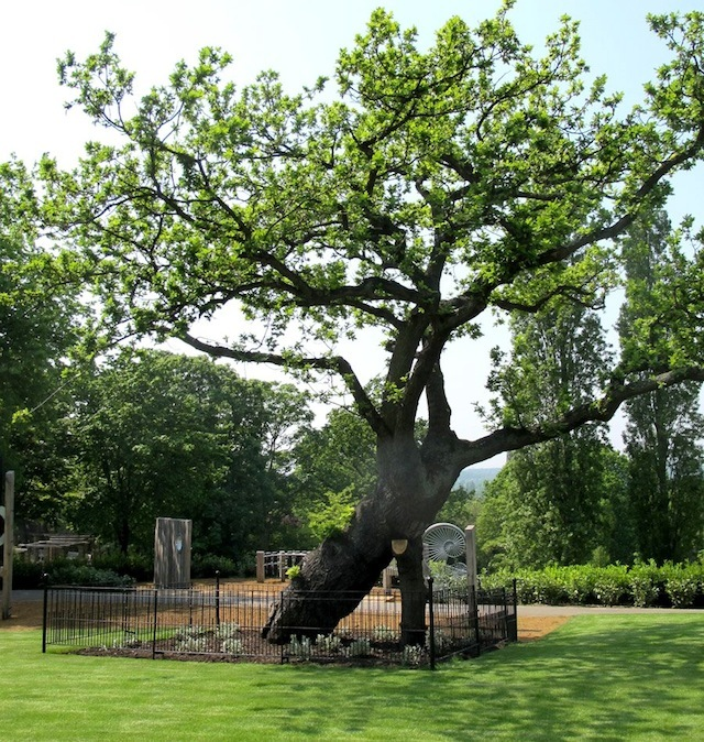 This oak tree is around 300 years old. It once marked the boundary between two fields, a reminder of Forest Hill's former farming days.