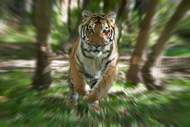Running Tiger, Nature Reserve, Canada © Roger Hooper