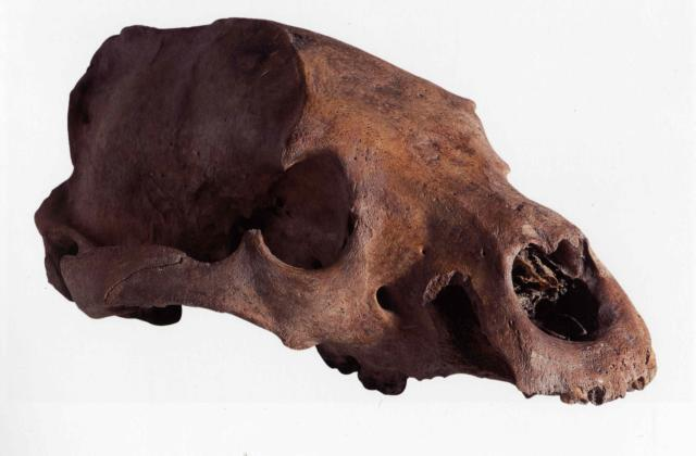 Skull of a bear, excavated from the site of the Globe. Probably a female; the skull lacks its lower jaw and some teeth, and shows that the bear had suffered a blow to the back of the head. © Dulwich College, London