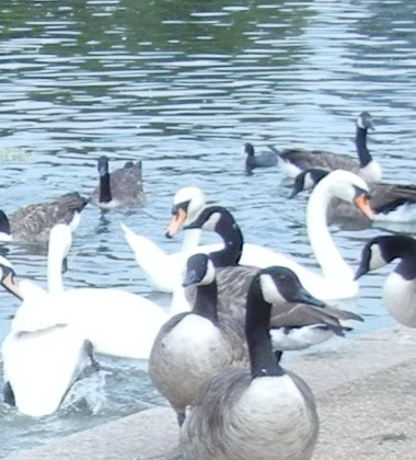 Serpentine Swans Given Holiday From Olympics Activity