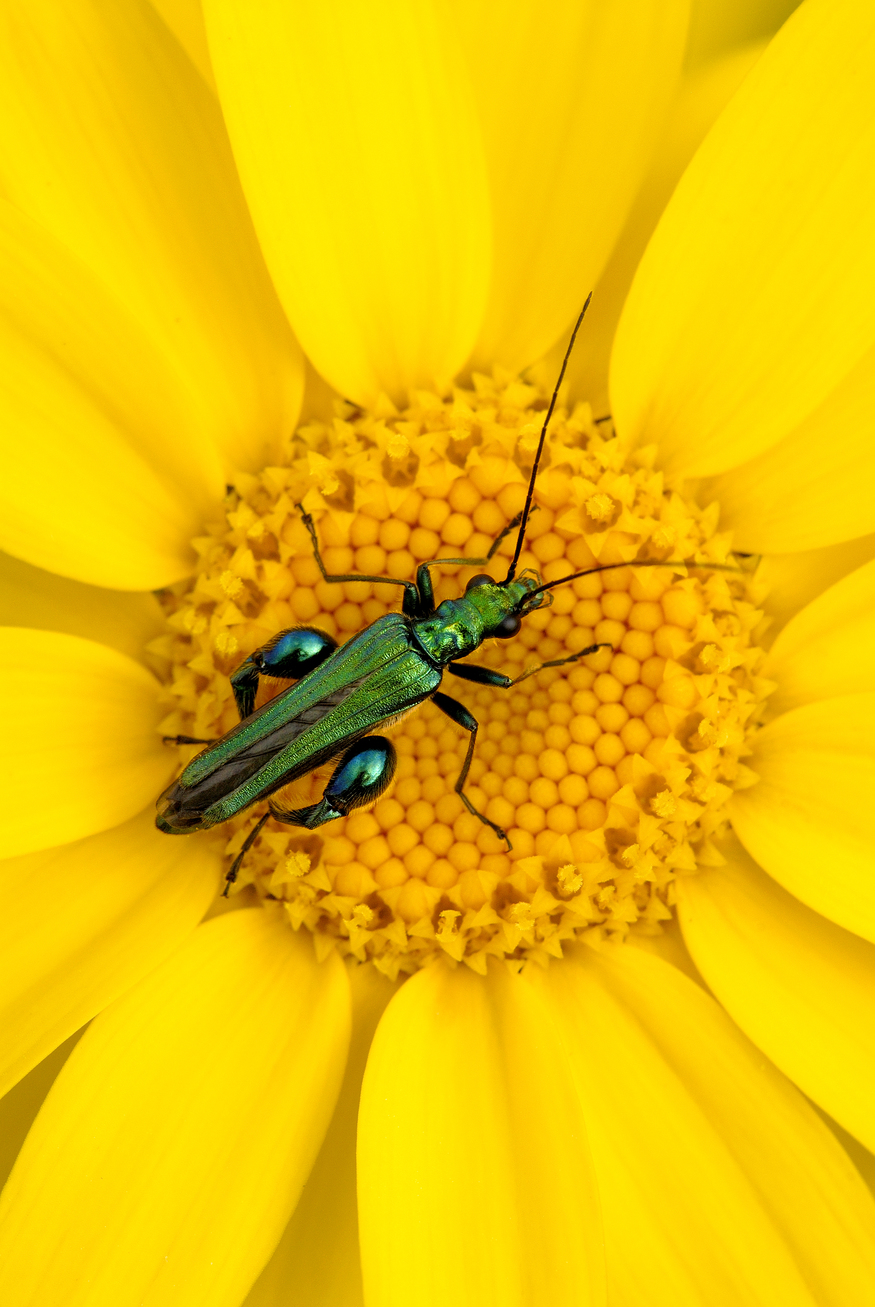 Thick-legged flower beetle {Oedemera nobilis} on corn marigold {Chrysanthemum segetum}, Crantock, Cornwall.