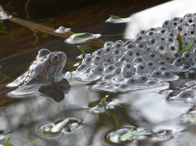 Walter Lovell, Frog Checking Its Frogspawn. Winner of Young Photographer category: up to 11 years old. Image courtesy Horniman Museum