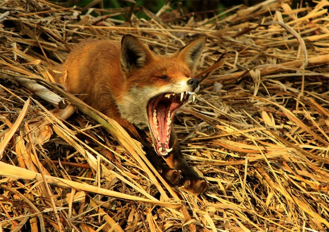 Oliver Wilks, Red Fox Yawning After His Afternoon Nap. Winner of Young Photographer category: 12-16 years old. Image courtesy Horniman Museum