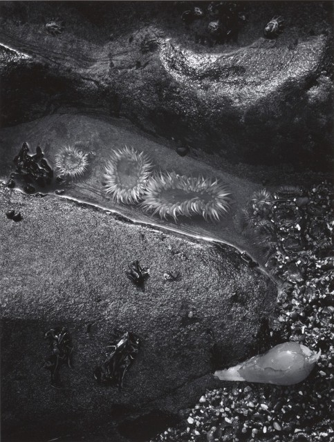 Sea Anemones Shore (detail), Bodega Head California. Photograph by Ansel Adams. Collection Center for Creative Photography, University of Arizona © The Ansel Adams Publishing Rights Trust