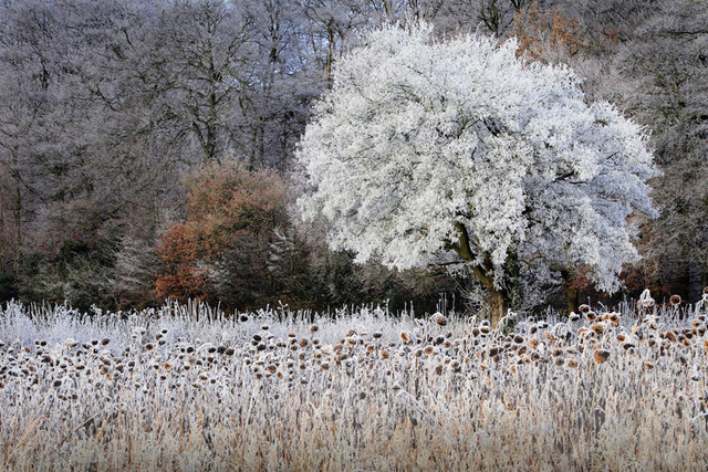 Frosty Sunflowers, The Chilterns, Buckinghamshire, England