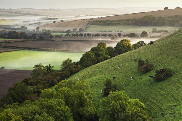 Grazing Cattle, Marleycombe Hill, Wiltshire, England by Ken Leslie (Highly commended, Classic view). Image courtesy of Take A View