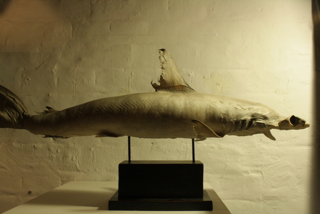 Hammerhead Shark. Image courtesy of Black Rat Projects.