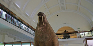 Horniman Walrus Goes On Tour