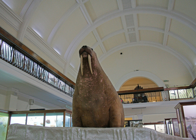 Horniman Walrus Goes On Tour