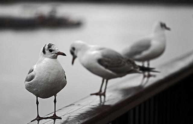 Thames seagulls by markdbaynham