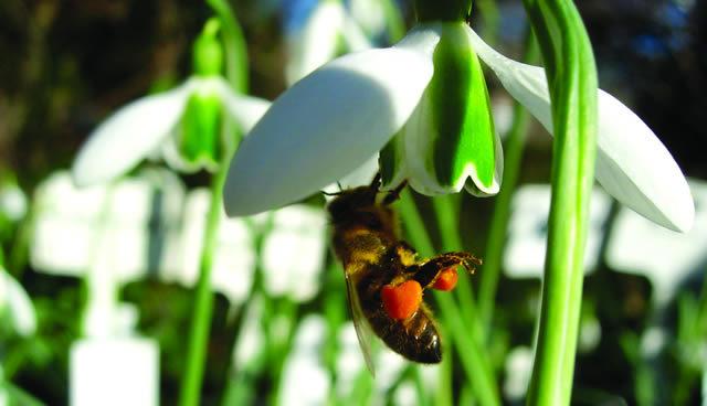 Preview: Snowdrop Days @ Chelsea Physic Garden