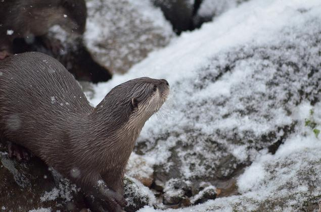 Yes! Otters in snow! By Sloetry (at the London Wetland Centre)