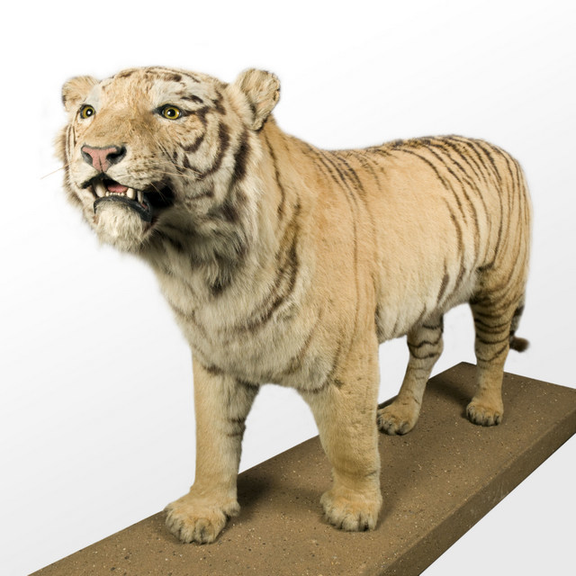 Tiger. ® The Natural History Museum, London