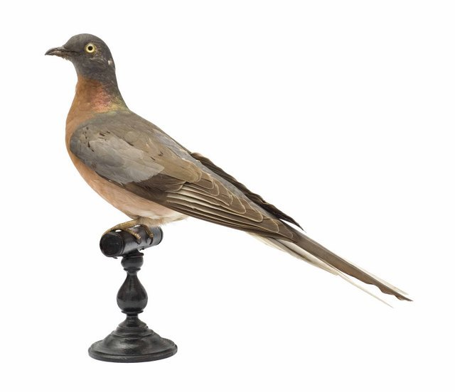 Ectopistes migratorius, passenger pigeon