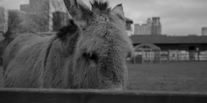 The Friday Photos: London Donkeys