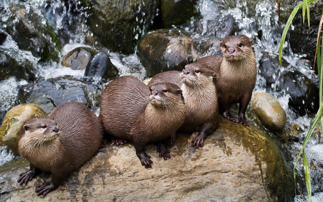 "A group of otters is called a ""romp"". Just so you know. Photo by David Howarth"
