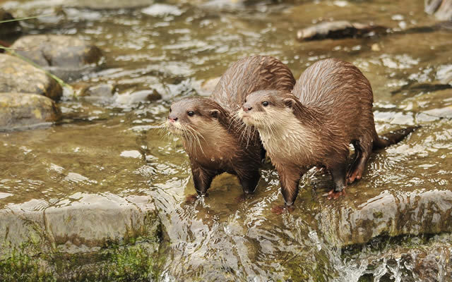 London Wetland Centre Otters. Photo by Norman Carter