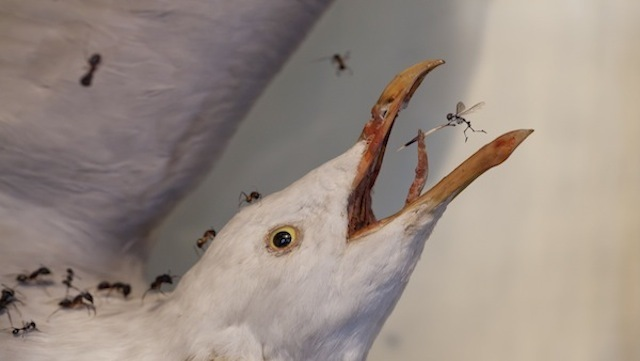 An injured herring gull by Tessa Farmer (credit: Bexley Heritage Trust)