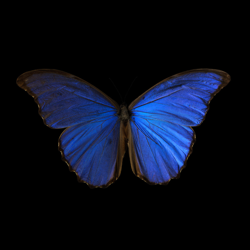 Morpho Amathonte 0005, 2012 by Alexander James. Image © 2000 - 2013 Alexander James Distil Ennui Studio™