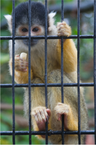 A Squirrel Monkey in London Zoo