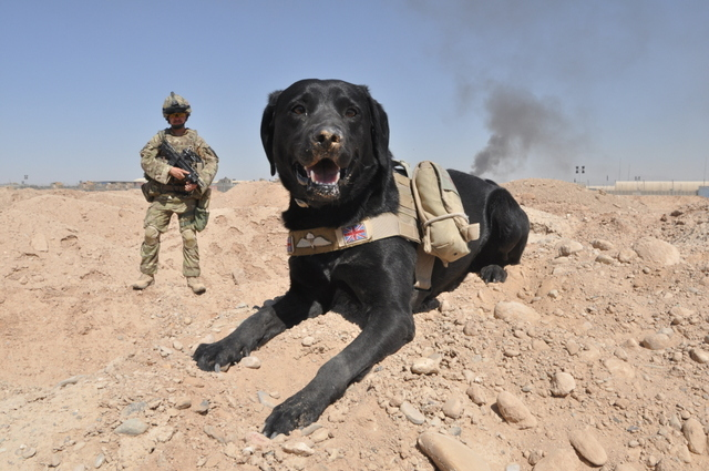 Herrick, Camp Bastion. 103 Working Dog Sqn, Based on Bastion 2 the Sqn has over 60 dogs with capabilities including search, patrol and attack and used extensively on Ops and patrolling Camp Bastion. EX 2 Para Cpl Robin Ardis, RAVC with Arms Explosive search dog, Travis.