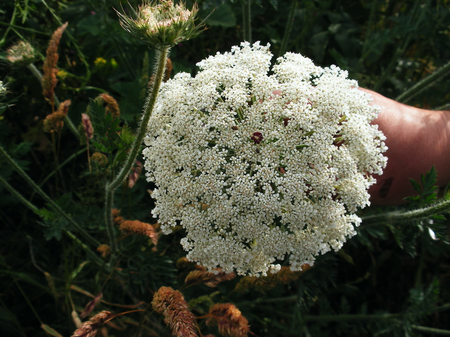 Wild carrot - look for the red dot in the middle