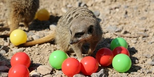 Zoo Meerkats Prepare For Little Creatures Family Festival